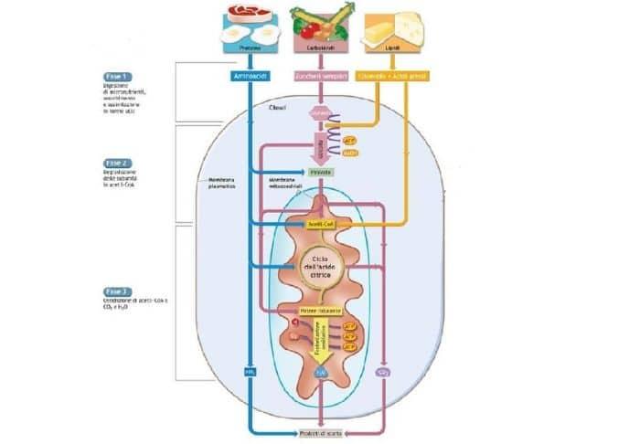 sistemi-energetici-grassi-carboidrati